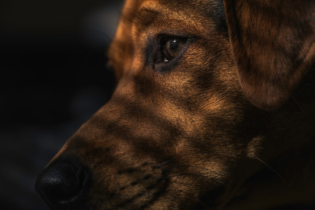 Dog-brown-in-shadow (1280x853)